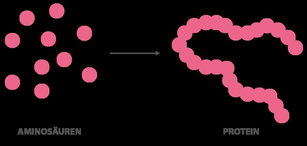 Aminosäuren sind die Bausteine des Proteins, durch die Anlagerung von Aminosäuren zu einer Kette können verschieden lange Proteine hergestellt werden. Die individuelle Zusammensetzung der Aminosäuren hat Einfluss auf die biologische Wertigkeit des Proteins.